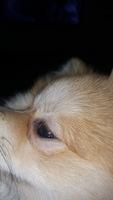 Secreción ocular en perros, Pomerania
