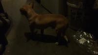 Estreñimiento en perros, Chihuahueño