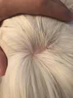 Peni, mi roedor cobaya peruano hembra, tiene pérdida de pelo y picor y rascarse