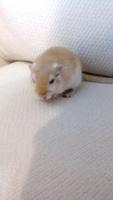 Tom, mi roedor jerbo macho, tiene sangrado de nariz, mucho moco en la nariz y respiración ruidosa
