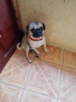 Incontinencia en perros, Pug