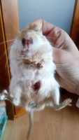 Mucho moco en la nariz en roedores, Jerbo