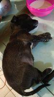 Dificultad al tragar en perros, Chihuahueño