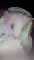 Blanca, mi roedor hámster hembra, tiene mucho moco en la nariz, respiración ruidosa y respira con dificultad