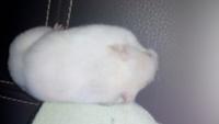 Mucho moco en la nariz en roedores, Hámster