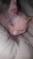 Popy, mi gato don sphynx hembra, tiene picor y rascarse y secreción ocular
