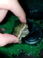 Dali, mi reptil tortuga de orejas rojas hembra, tiene un problema de salud