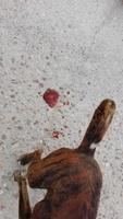 Flatulencia en perros, Boxer