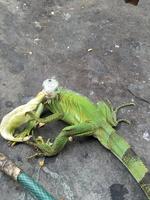 Igua Nina Claudia, mi reptil iguana verde hembra, tiene diarrea