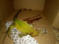Diarrea en reptiles, Iguana verde