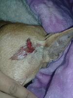 Daysi, mi perro chihuahueño hembra, tiene heridas, gruñidos y agresiones