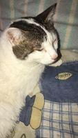 Estornudos en gatos, Común europeo