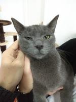 Estornudos en gatos, Azul ruso