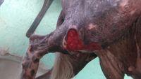 Pérdida de piel en perros, Xoloitzcuintle