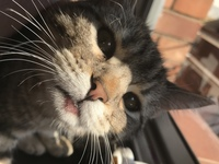 Pérdida de piel en gatos, Persa tradicional