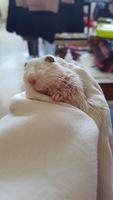 Mordeduras en roedores, Jerbo