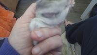 Pérdida de pelo en roedores, Hámster ruso