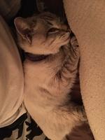 Dificultad al caminar o levantarse en gatos, Ojos azules