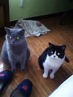 Dificultad para defecar en gatos, Pelicorto inglés