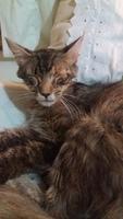 Mucho moco en la nariz en gatos, Angora turco