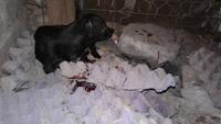 Sangrado de nariz en perros, Chihuahueño