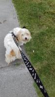 Pachi, mi perro bichon maltés hembra, tiene dificultad al caminar o levantarse, jadeo y debilidad
