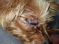 Simba, mi perro yorkshire terrier hembra, tiene agresiones