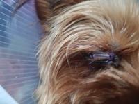 Agresiones en perros, Yorkshire terrier