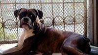 Nena, mi perro bóxer hembra, tiene mal apetito y vómito