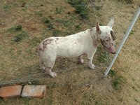 Cooper Y Chealsea, mi perro bull terrier macho, tiene pérdida de piel, pérdida de pelo y picor y rascarse