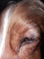 Pérdida de piel en perros, Cocker spaniel inglés