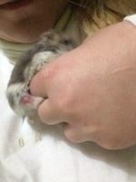 Bola De Caca, mi roedor hámster ruso macho, tiene nubes o película transparente blanca en los ojos