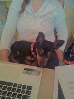 Flatulencia en perros, Pinscher miniatura
