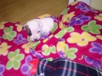 Defeca en casa en perros, Staffordshire Terrier americano