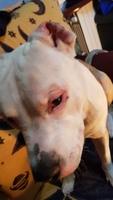 Secreción en los oídos en perros, Staffordshire Terrier americano
