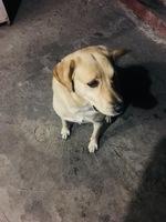 Sangrado en pene en perros, Labrador