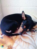 Flatulencia en perros, Chihuahueño
