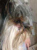 Pérdida de piel en perros, Yorkshire terrier