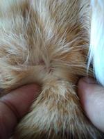 Gatete, mi gato común europeo macho, tiene se rasca en los oídos y picor y rascarse