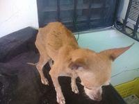 Chacha, mi perro chihuahueño hembra, tiene un problema de salud