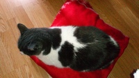 Respira con dificultad en gatos, Común europeo