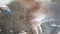 Sangrado en pene en perros, Pit bull
