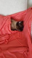 Arcadas en gatos, Siamés