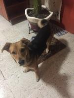 Flatulencia en perros, Beagle