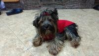 Incontinencia en perros, Yorkshire terrier