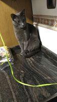 Flatulencia en gatos, Korat