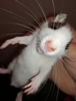 Mucho moco en la nariz en roedores, Rata estándar
