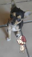 Dificultad para defecar en perros, Chihuahueño