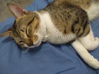 Orina muy poco en gatos, Europeo de pelo corto