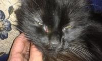 Pelusa, mi gato cruce de sagrado de birmania hembra, tiene ojos rojos, picor y rascarse y pérdida de pelo